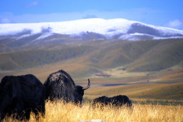 Yak, Tibet