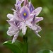 Water Hyacinth Bloom