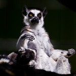 Ring-Tailed Lemur / Katta (Lemur catta) Madagascar