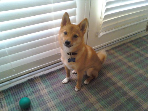 taro shiba as a puppy, wants to go outside to play
