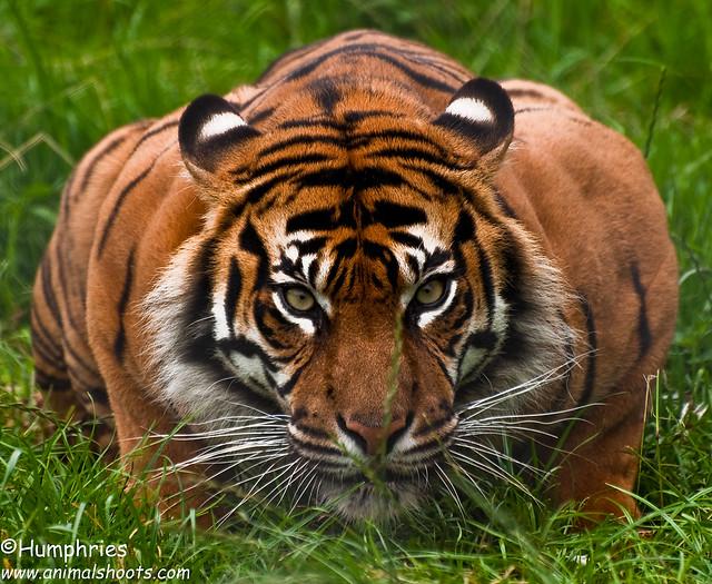Chester Zoo:  Sumatran Tiger