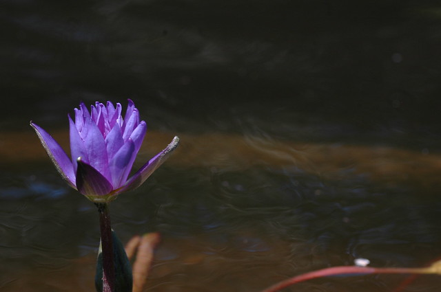 Nymphaea 'Director George T. Moore'. Photo by Cayleb Long.