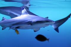 animal, fish, shark, marine biology, carcharhiniformes, requiem shark, tiger shark,