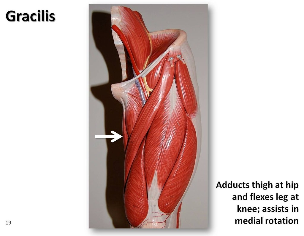 Muscle Exercise Gracilis Muscle Exercise