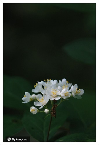 12.虎耳草科溲疏属小花溲疏