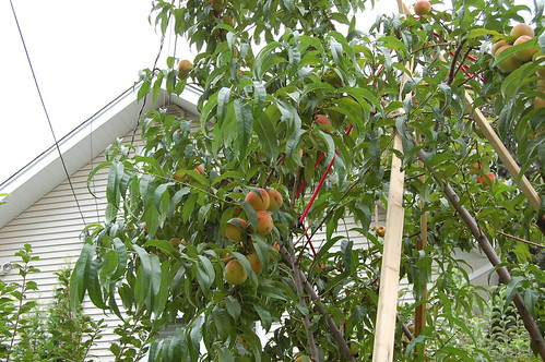 I love peaches with worms mamaliga romanian expat living in chicago - Romanian cherry tree varieties ...