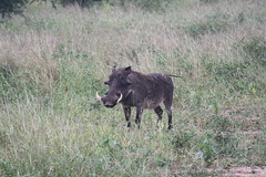 animal, prairie, wild boar, pig, fauna, pig-like mammal, warthog, pasture, wildlife,