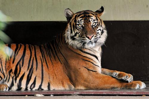 The Sumatran tigress by Tambako the Jaguar