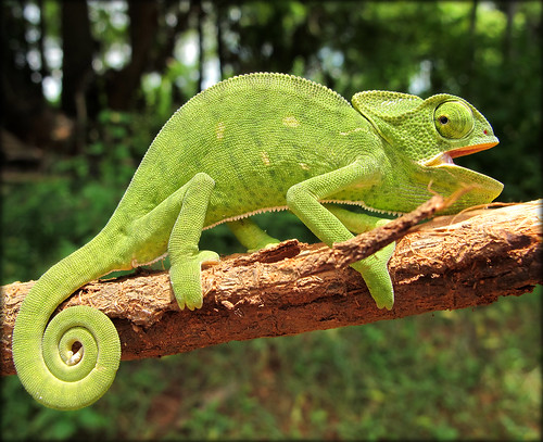 Chameleon.. my little friend