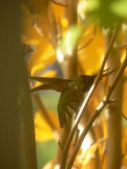 Anna's Hummingbird in Witch Haze