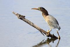 Herons, Bitterns, Egrets, Cranes/Wading Birds