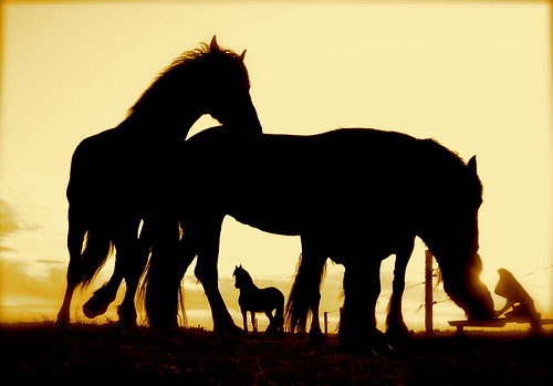 sunset horses silhouette drinking