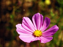 annual plant, flower, field, garden cosmos, yellow, nature, macro photography, wildflower, flora, close-up, plant stem, cosmos, pink, petal,