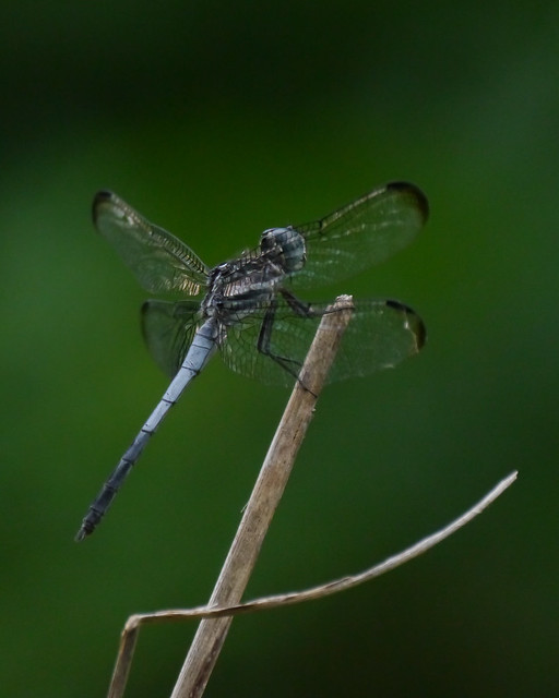 Gray-waisted Skimmer Male - 2