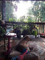Rosie kicked back enjoying the summer porch at sundown, Lakota Lhamo Ling, Washington, USA