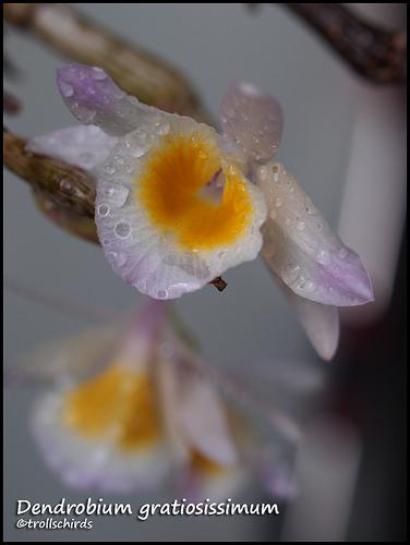 Dendrobium gratiosisimum