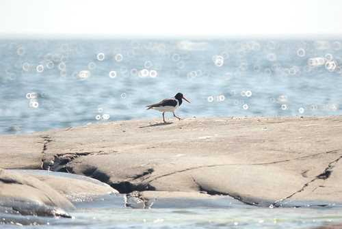 Eurasian Oystercatcher at Kummelskär by aixcracker