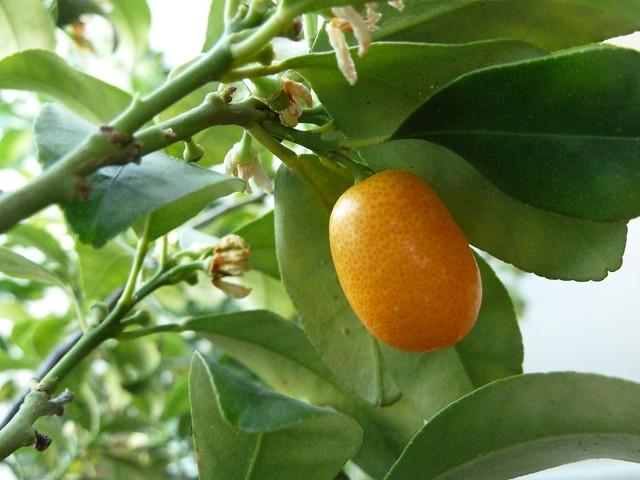 naranjo enano