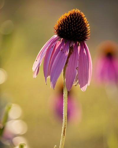 pink flower green sunrise dof bokeh coneflower ghholt 6292010