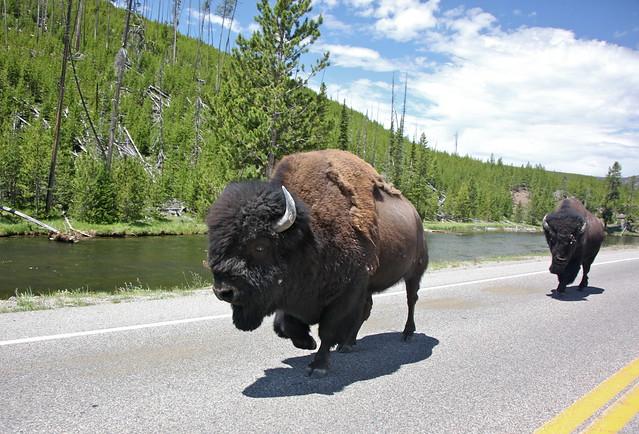 Bisontes americanos en la carretera - Parque nacional Yellowstone
