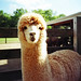 A is for Alpaca.