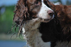 dog breed, animal, dog, welsh springer spaniel, pet, mammal, small mã¼nsterlã¤nder, king charles spaniel, field spaniel, drentse patrijshond, russian spaniel, english cocker spaniel, picardy spaniel, blue picardy spaniel, spaniel, german spaniel, french spaniel, english springer spaniel, american water spaniel, american cocker spaniel,