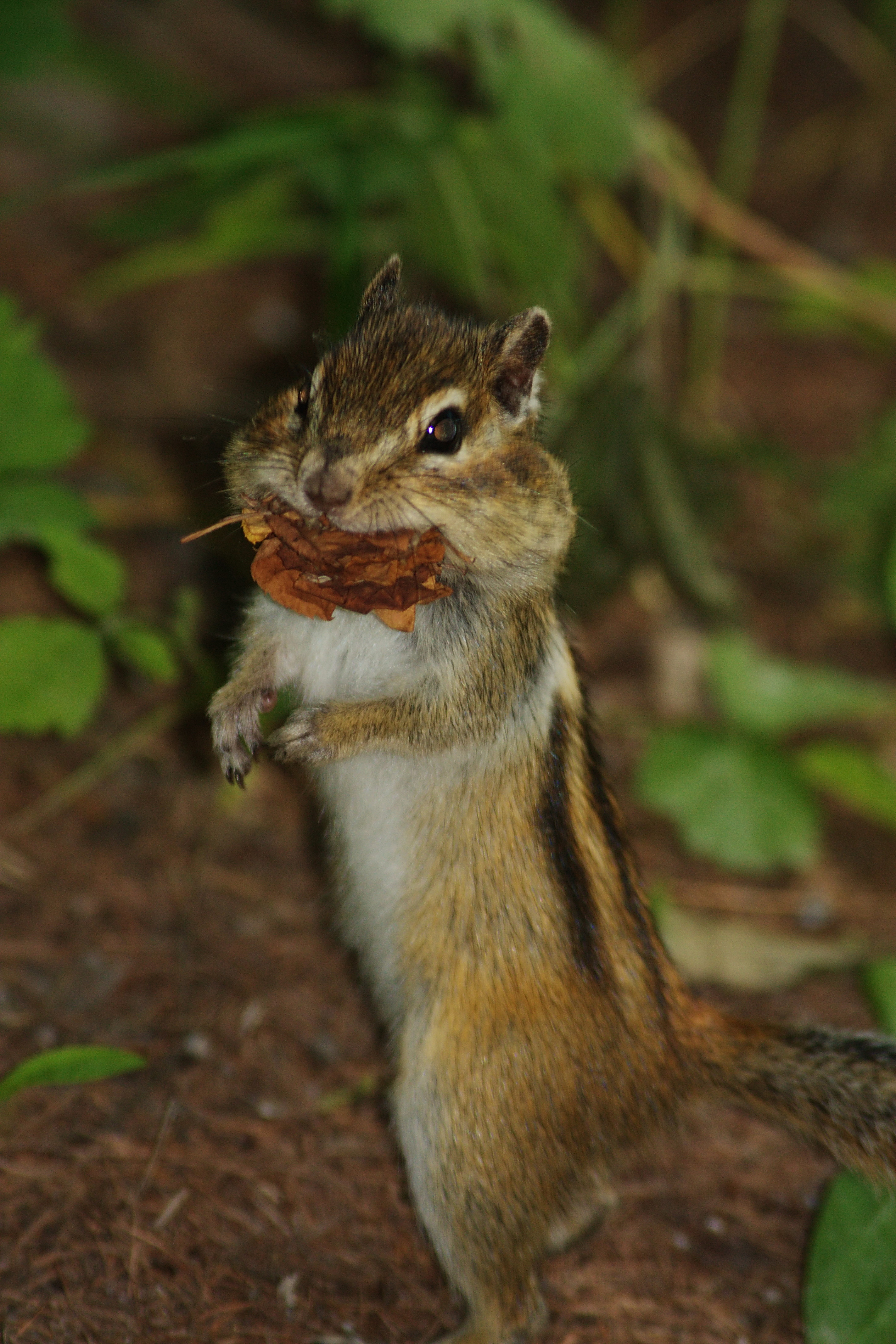 Dramatic Chipmunk | Flickr - Photo Sharing!