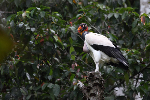 King Vulture, Corcovado National Park
