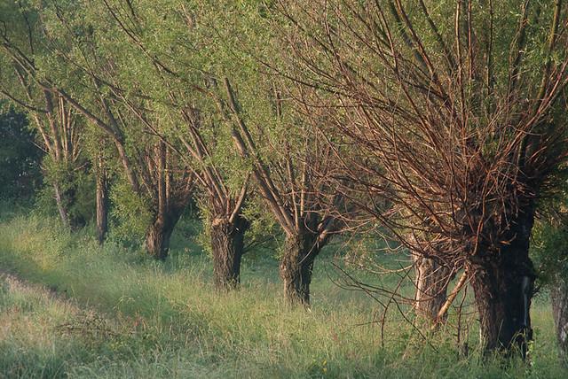 Salzes (Salix alba)