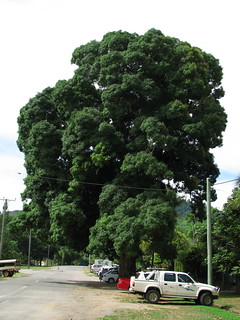 Large old mango tree in Cairns
