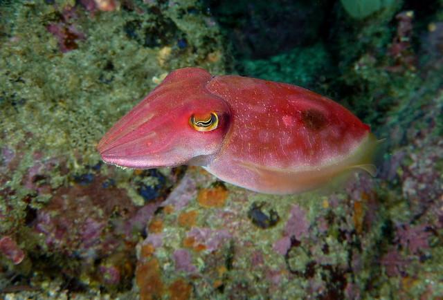 Cuttlefish reaper
