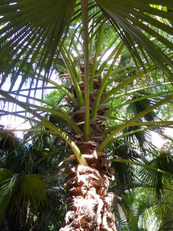 Livistona chinensis copa v 5