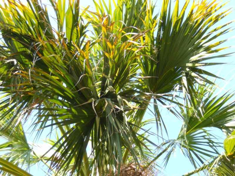 Sabal palmetto hojas 3