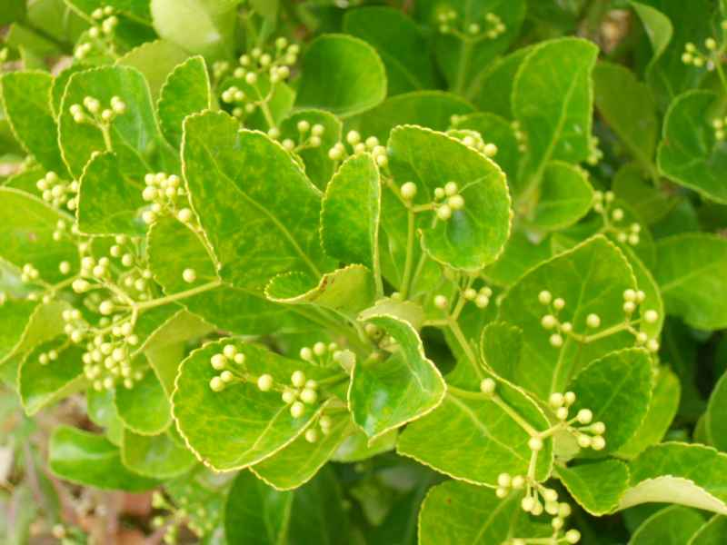 Euonymus japonicus 4
