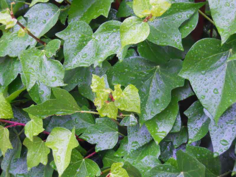 Hedera spp. hojas 2