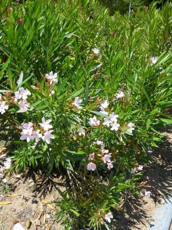 Nerium oleander 'Alsace' v 1