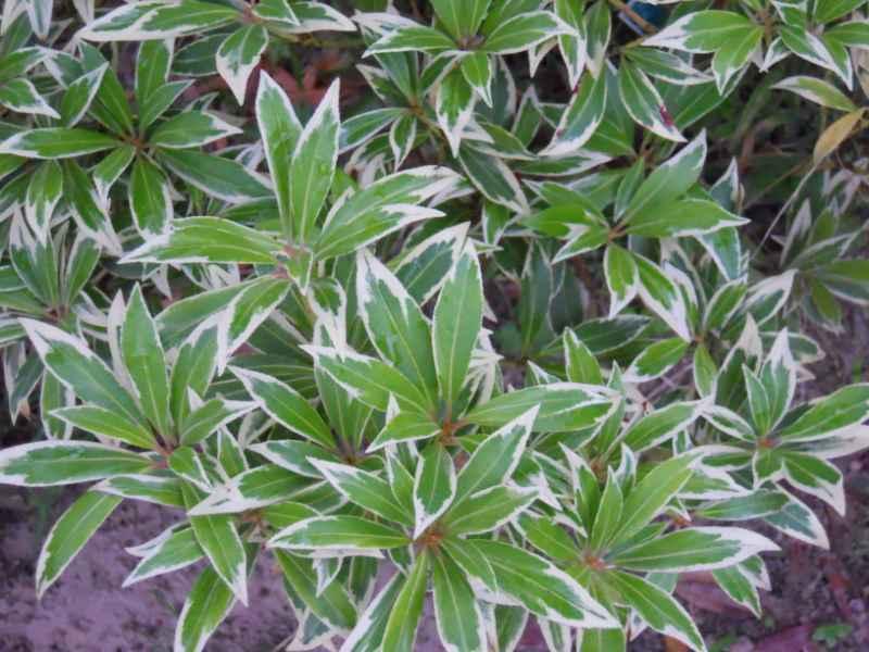 Pieris japonica 'Variegata' 2