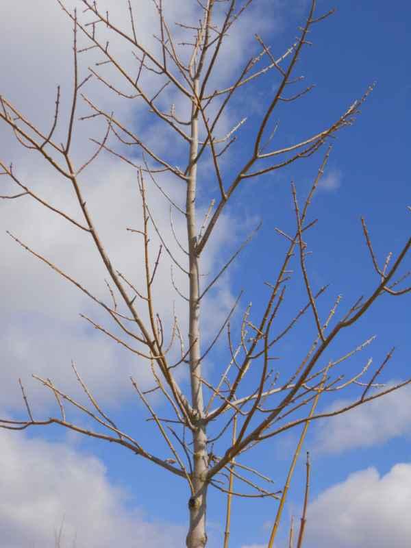 Acer negundo invierno v 4