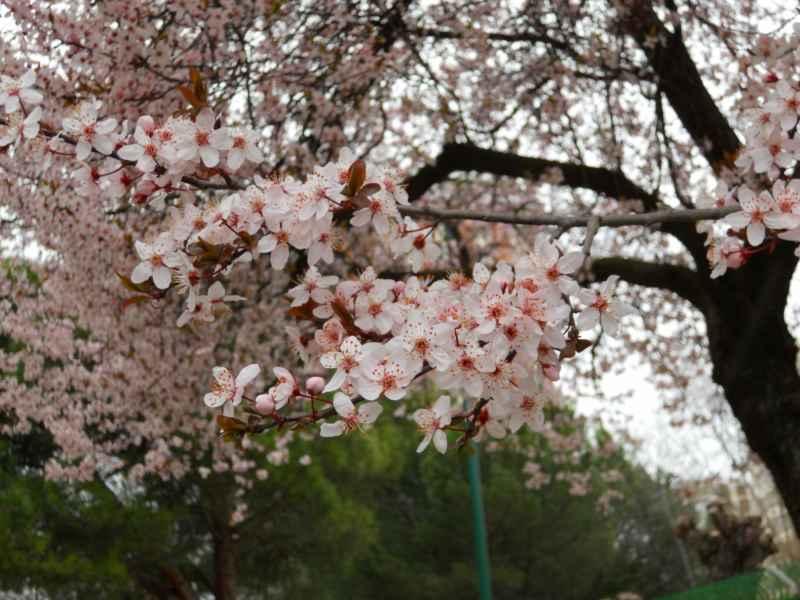 Prunus cerasifera 'Nigra' flores 2