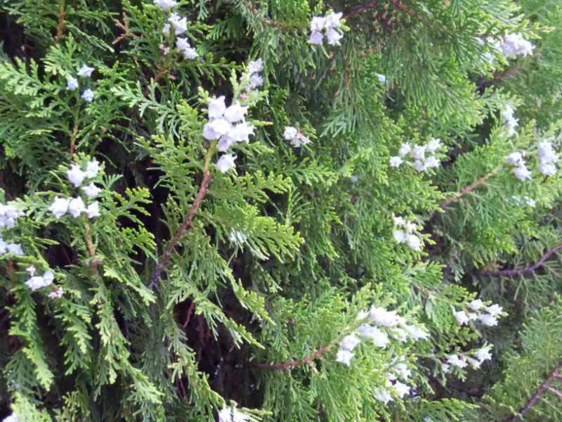 Thuja orientalis 'Blue Cone' 2