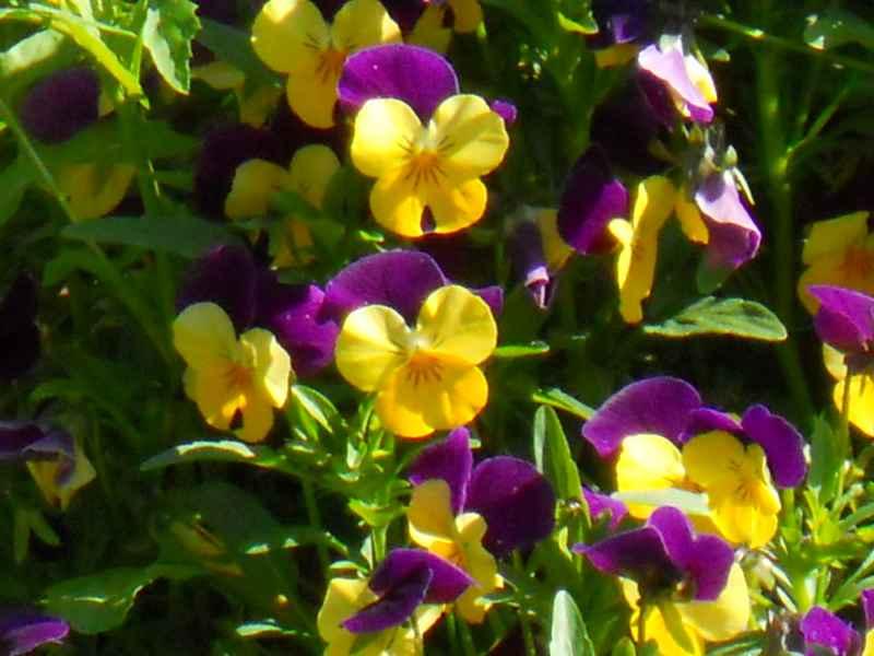 Viola tricolor detalle 1