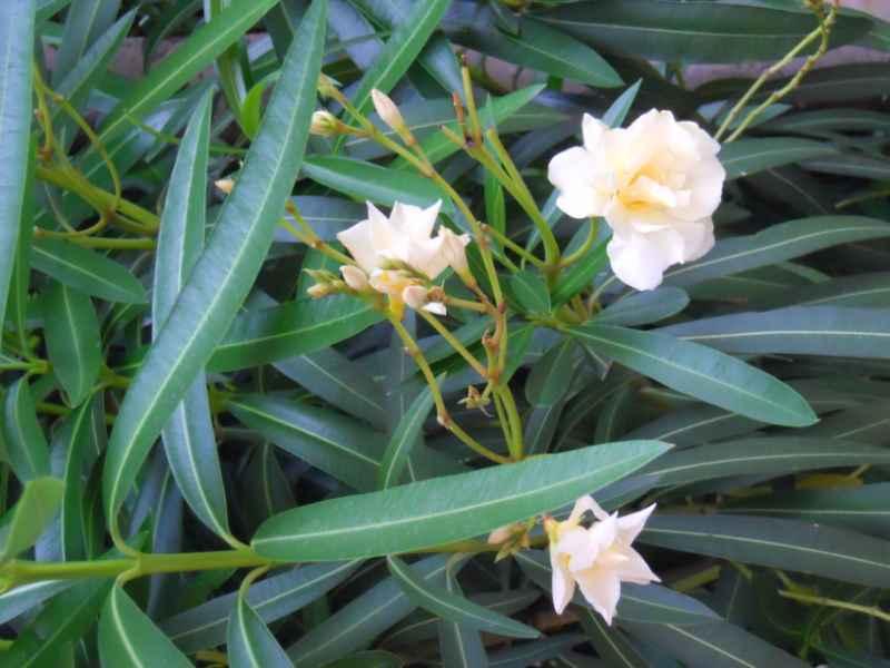 Nerium oleander 'Luteum plenum' 2