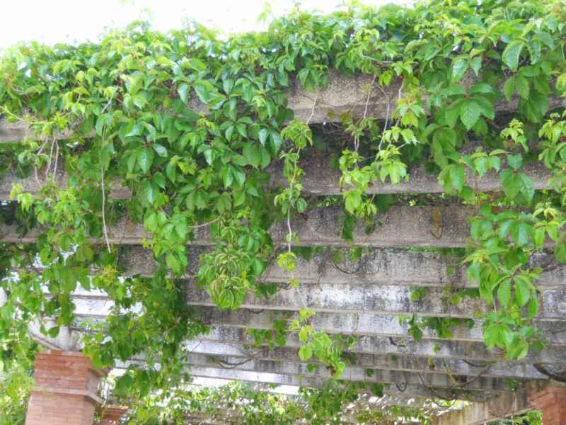 Parthenocissus quinquefolia pérgola 2