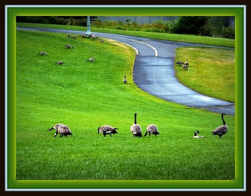 park morning green grass geese spokane goose canadiangoose canadiangeese riverfrontpark spokanewa riseandshine 99201