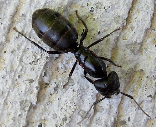 big black ant - photo #31