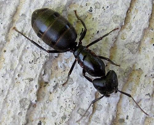 Eastern Black Carpenter Ant (Camponotus pennsylvanicus ...