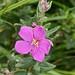 Small photo of Dissotis canescens (Melastomataceae)