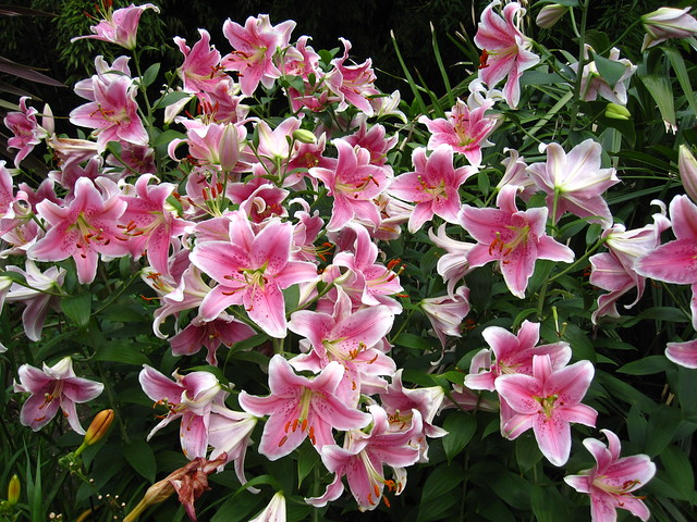 An abundance of Lilium 'Mona Lisa' bloom in the Monocot Border. Photo by Rebecca Bullene.