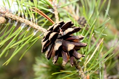 grass(0.0), tree(0.0), plant(0.0), larch(1.0), flower(1.0), branch(1.0), pine(1.0), leaf(1.0), macro photography(1.0), flora(1.0), close-up(1.0), conifer cone(1.0), fir(1.0), spruce(1.0), twig(1.0),