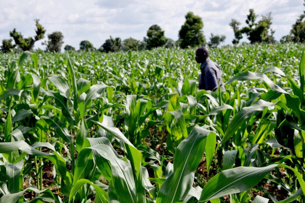 Quality Protein Maize (QPM) varieties in demonstration farm